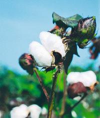 Kapsel - Kapseln einer Baumwollpflanze