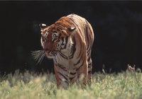 Katze - Katze (Tiger)