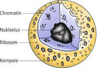 Kern - Der Kern (Nukleus) in der Mitte der Zelle