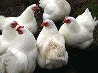Kleinvieh - Hühner