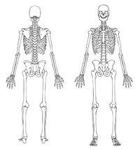 Knochengerüst - Vorder- und Rückansicht eines Knochengerüstes