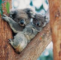 Koala - Koala mit Jungtier