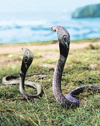 Kobra - Kobras