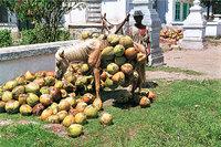 Kokosnuss - Kokosnüsse
