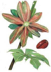 Kolabaum - Zweig und Frucht des Kolabaumes