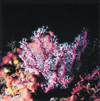 Korallentier
