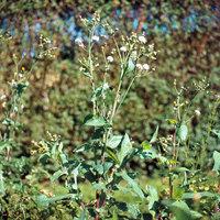Kraut - Wild wachsende Kräuter