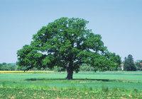 Krone - Baum mit Krone
