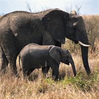 Kuh - Elefantenkuh mit Kalb