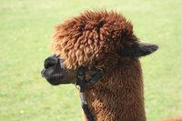 Lamawolle - Kopf eines Lamas mit viel Lamawolle