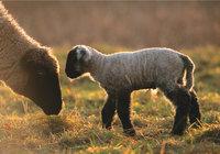 Lamm - Lamm mit Muttertier
