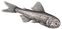 Laternenfisch