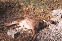 Leiche - Leiche eines Rehs