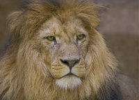 Löwenmähne - Löwenkopf mit Löwenmähne