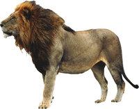 Mähne - Löwe mit Mähne