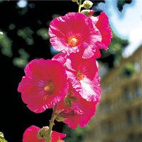 Malve - Blüten einer Malve