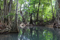 Mangrovenbaum - Mangrovenbäume