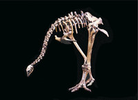 Moa - Skelett eines Moa