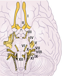 Nerv - Nerven des Gehirns