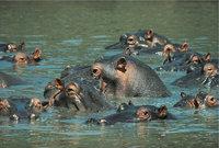 Nilpferd - Nilpferde im Wasser