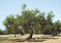 Olive - Oliven