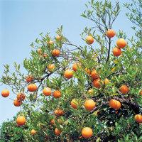 Orangenbaum - Orangenbaum mit Früchten