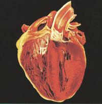 Organ - Das Herz als Organ