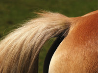 Pferdehaar - Schwanz eines Pferdes