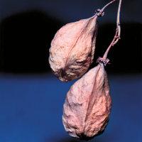 Pimpernuss - Früchte der Pimpernuss