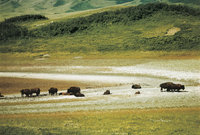 Prärie - Bisons in der Prärie