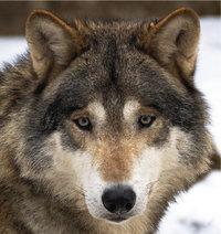 Raubwild - Wolf