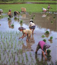 Reisernte - Arbeiterinnen auf einem Reisfeld bei der Reisernte