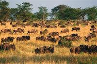 Rind - Eine Herde Rinder bei der Wanderung