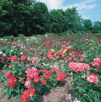 Rose - Rosenbeet