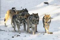 Rudel - Wolfsrudel
