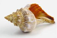 Schale - Schale einer Muschel