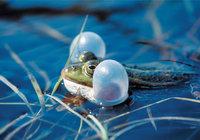 Schallblase - Frosch mit Schallblasen
