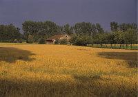 Scheune - Scheune und Weizenfeld