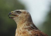 Schnabel - Schnabel eines Adlers