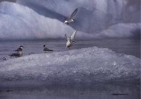 Scholle - Vögel auf einer Eisscholle