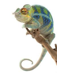 Schutzfarbe - Chamäleon mit Schutzfarben