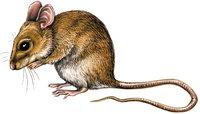 Schwanz - Maus mit langem Schwanz