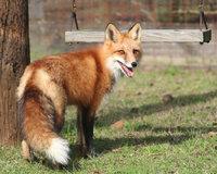 Schwanzende - Fuchs mit buschigem Schwanzende