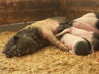 Schweinestall - Sau mit Ferkeln im Schweinestall