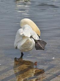 Schwimmfuß - Schwimmfuß eines Schwans