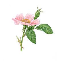 Stachel - Rose mit Stacheln