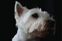 Stehohr - Hund mit Stehohr
