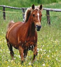 Stern - Pferd mit Stern