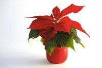 Sternblume - Weihnachtsstern
