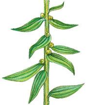 Stiel - Stiel einer Blume mit Blättern und Knospen